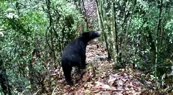 Zhangjiajie Black Bear