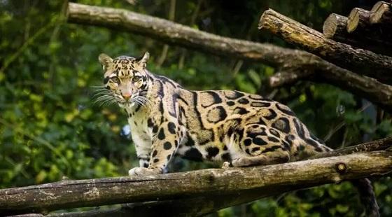 Zhangjiajie Clouded Leopard